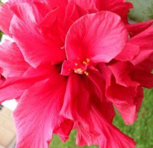 k-hibiskus-klein
