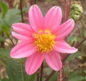 rosa-bluete